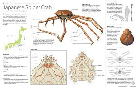 Crab Species Chart Japanese Spider Crabs All About The Giant And Scary Crabs