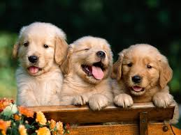 lab puppy wallpapers. Modren Puppy Right Click On This Wallpapers Labrador Puppy Wallpapers To Download And  Select Option  With Lab A
