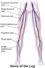 Vein Chart For Shooting Up Femoral Vein Wikipedia