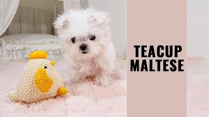 teacup maltese 12 dog breed information on the toy maltese