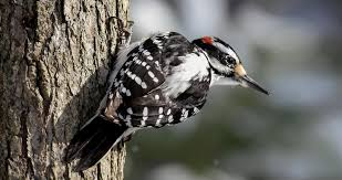 When hairy woodpeckers hatch