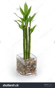 Image result for bamboo plant