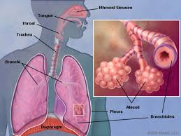 Image result for function of respiratory system in human body