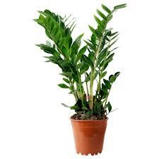 cheap office plants. IKEA ZAMIOCULCAS Potted Plant Cheap Office Plants T