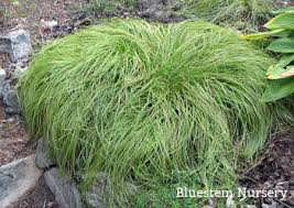 Carex caryophyllea 'Beatlemania' - Beatlemania Spring Sedge