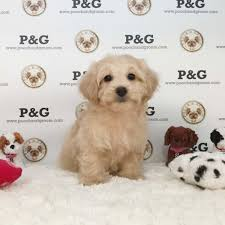 view ad maltese poodle toy mix puppy near california temple city usa adn 100192