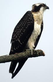 Image result for osprey bird
