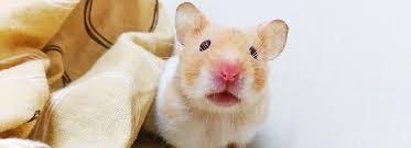 petsmart hamsters black and white. Article Hero Image On Petsmart Hamsters Black And White