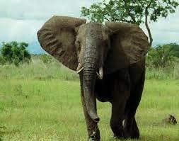 African Bush Elephant Loxodonta Africana Africana