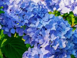 top 55 types of blue flowers with names
