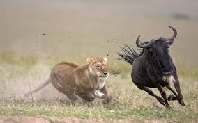 lioness hunting. Simple Lioness Lionesshuntingjpg In Lioness Hunting