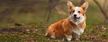 pembroke welsh corgi dog breed facts and information wag dog walking