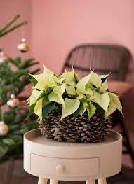 Weihnachtssternen Kozenjasonkellyphotoco