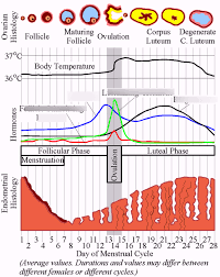 Menstrual Cycle Temperature Chart Menstrual Cycle Diagram Quizlet