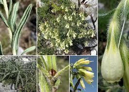 Onosma echioides (L.) L. subsp. dalmatica (Scheele) Peruzzi & N.G. ...