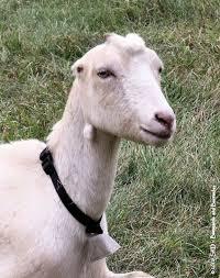 Goats Lamancha Goats Are Your Standard Milking Goat