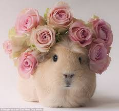 Image result for guinea pig wearing skirt