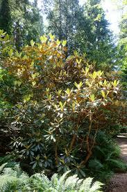 file rhododendron arizelum bro ubc botanical garden vancouver canada dsc08099 jpg