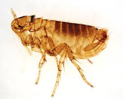 orkin flea treatment cost. Modren Flea Flea Close Up Picture For Orkin Flea Treatment Cost I
