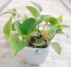 caring tips for chinese money plant