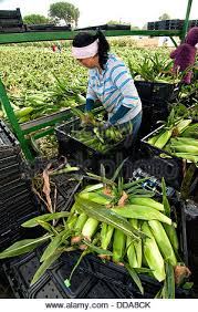 migrant workers harvest fresh corn at uesugi farms august 28 2016 in gilroy ca