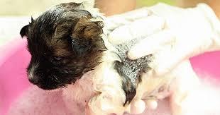 Homemade Dog Shampoo: 5 Natural Recipes - Care.com