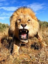 lioness roar front view. Unique Lioness Lion Roar Front View  Photo15 Inside Lioness Roar Front View L