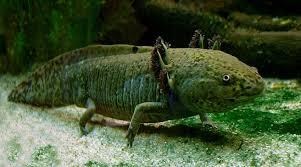 Small Picture Axolotl Wikipedia