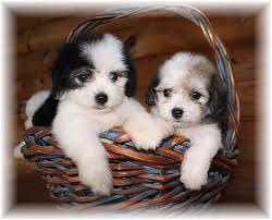 Small Picture Too cute Havanese puppies best animal pictures Pinterest