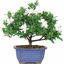 gardenia bonsai tree bought bonsai tree