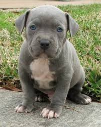 terrier pitbull puppies. Fine Puppies Pitbull Terrier Puppy To Puppies U