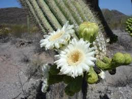 Saguaro Cactus Organ Pipe Cactus National Monument U S