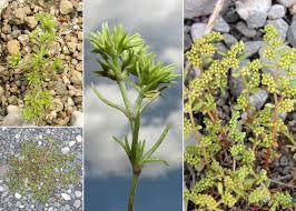 Scleranthus annuus L. - Sistema informativo sulla flora vascolare dei ...