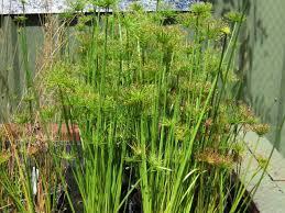 pond plants wa koi pondcare
