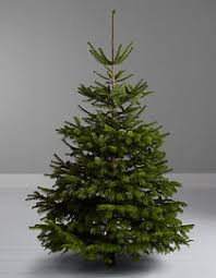 6-7ft Nordmann fir real Christmas tree at John Lewis