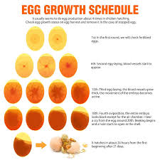 Growth Of A Chicken Chart Egg Chart For Incubation Google Search Egg Chart Eggs
