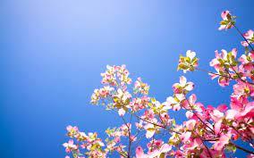 Pink Tree Flowers Background Wallpaper ...