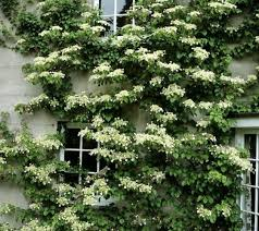 VineCovered Walls Let You Enjoy The Outdoors For The Best Part Of Climbing Plants For Fence