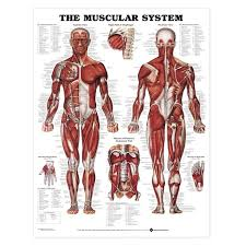 the best muscular system ideas human muscle  the 25 best muscular system ideas human muscle anatomy arm muscle anatomy and forearm muscles