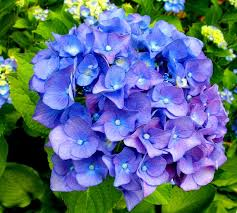 Image result for clipart of hydrangeas
