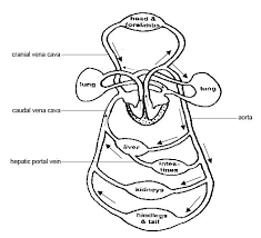 Anatomy_and_physiology_of_animals_Mammalian_circulatory_system file anatomy and physiology of animals mammalian circulatory on configuration worksheet