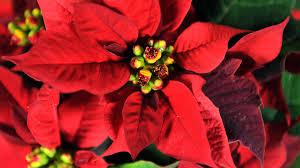Welche Blütenfarbe Hat Der Weihnachtsstern