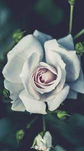 White Rose iPhone Wallpapers on ...