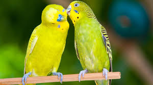love bird colorful parrot hd wallpapers
