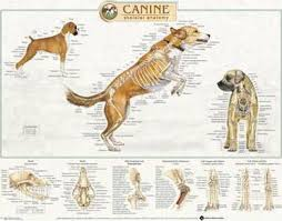Canine Skeletal System Anatomical Chart Anatomical Chart