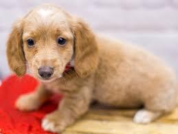 miniature dachshund dog female cream