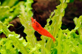 Theres Fire In My Tank Keeping Fire Red Shrimp Full