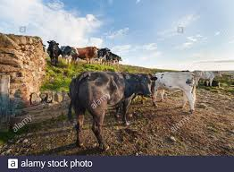 Light Livestock Uk Countryside Farming Livestock Farm Beef Cattle In