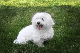 maltese dog. maltese in the grass dog