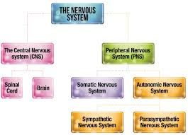 Cns Pns Chart Structure Of The Nervous System Psychology Tutor2u